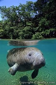 Swim with Manatees in Florida (although it wasn't nearly this clear!)