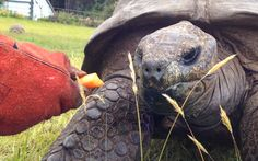 Jonathan the tortoise, who lives on the British territory of St Helena, is   thought to be the world's oldest living land creature