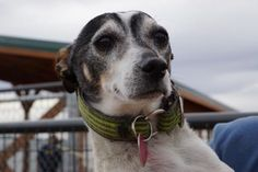 Adopt Utah, a lovely 6 years 2 months Dog available for adoption at Petango.com. Utah is a Terrier, Rat and is available at the National Mill Dog Rescue in Colorado Springs, Co. www.milldogrescue... #adoptdontshop #puppymilldog #rescue #adoptyourfriendtoday