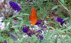 butterfly bush doing what it does best!