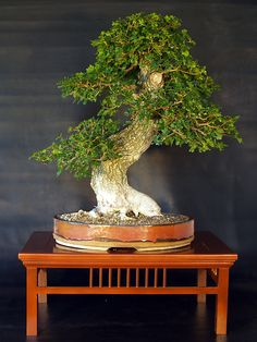 The Art of Bonsai Project - Feature Gallery: Nursery Stock Bonsai
