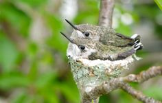 Hummingbirds nesting