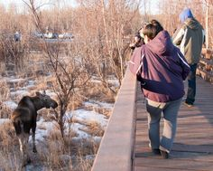 A moose at Anchorage's Potter Marsh boardwalk! Great place for bird wacthing