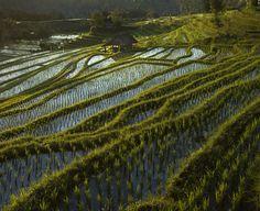 Rice fields by saelan Wangsa,