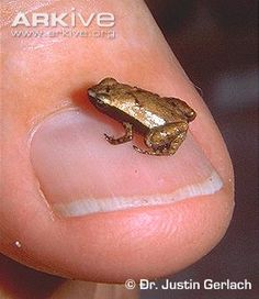 Check out this tiny frog, it's smaller than a fingernail! The Gardiner's tree frog is one of the smallest frogs in the world, growing to only 11mm in length! Unlike most frogs, the young do not hatch as tadpoles, but as fully formed small adult frogs. So the babies are even smaller versions of this little guy – how is that even possible?