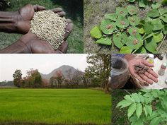 Medicinal Rice Formulations for Diabetes Complications, Heart and Liver Diseases (TH Group-70) from Pankaj Oudhia's Medicinal Plant Database