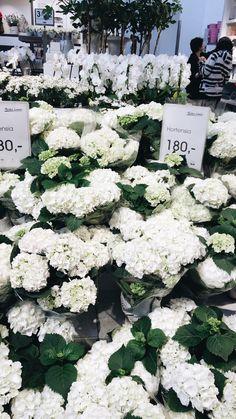 White hortensia flower