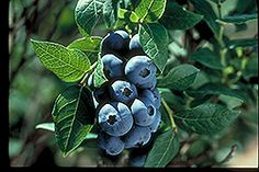 Blueberry, 'Chippewa' provides a vast amount of mid-summer, firm fruit ripe for picking. It is widely used as an ornamental in colder climates for its abundant flowers and attractive dark green leaves Vine Fruit, Fruit Trees, Highbush Blueberry, Blueberry Bushes, Blueberry Varieties, Blueberry Plant, Full Size Photo, Harvest Season, Growing Grapes