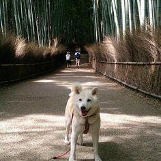 shiba_natsu/柴犬_ナツ : 画像