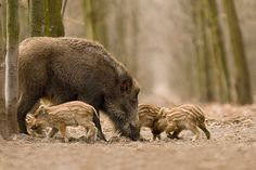 The  hungarian boar family by Hunter 2000 on 500px