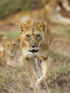 Female lion @ Laikipia Plateau in #Kenya. For a #Laikipia travel guide visit www.safaribookings.com/laikipia. With reviews, maps and photos.