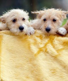 PORTUGUESE PODENGO  Talk about a versatile dog! This primitive-looking breed, which hails from Portugal, comes in three sizes (small, medi...