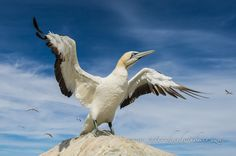 A Cape Gannet stretches its wings before heading out to spend the day at sea feeding.