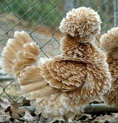 Frizzle tavuk