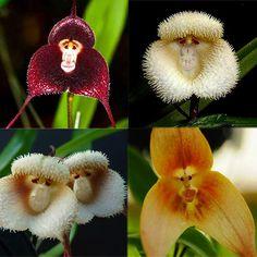Nice 10 Pcs New Orchid Seeds Beautiful Plant Flower Garden Rare Monkey Face Hot Strange Flowers, Unusual Flowers, Beautiful Flowers Garden, Rare Flowers, Amazing Flowers, Weird Plants, Unusual Plants, Rare Plants, Bonsai Seeds