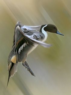duck coming in for the landing Pheasant Hunting, Duck Hunting, Pretty Birds, Beautiful Birds, Hunting Wallpaper, Redhead Duck, Duck Art, Duck Duck, Duck Mount