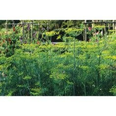 Anethum Graveolens - Dill Seeds