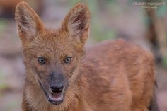 I AM TOO CLOSE ..... - DHOLE Indian WIld Dog Pup, Tadoba, Inida, April 2016, Magar Taka Area Of Tadoba. Here is sweet little pup of india wild dog (Dhole). In this pack there are two siblings and they are very playful. we enjoy there company for at list half hour and had cardfull of images. Canon 1Dx, Canon 500mm +1.4 TC, F/11, ISO-1600.... Enjoy.......