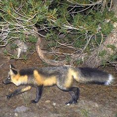 A Sierra Nevada red fox was spotted for the first time in nearly a century in Yosemite National Park. http://abc7.la/15Yi9Fa  The Sierra Nevada red fox of California is one of the rarest mammals in North America, with likely fewer than 50 left.