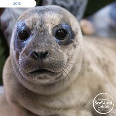 Look at that face! This cute seal was rescued and cared for by #SeaWorld's dedicated rescue staff! #365DaysOfRescue