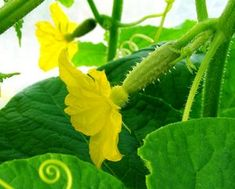 Growing Cucumbers is quite easy and well worth it. Garden Tips on how to grow the healthiest cucumber plants and the best cucumber varieties. Cucumber Canning, Cucumber Seeds, Cucumber Flower, Cucumber On Eyes, Cucumber Plant, Growing Melons, Growing Vegetables, Raised Bed Garden Design, Plants