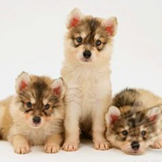 My future pet Unusual Dog Breeds, Best Dog Breeds, Best Dogs, Utonagan Dog, Doggies, Dogs And Puppies, Fuzzy Wuzzy, Grand Format, Wolfdog