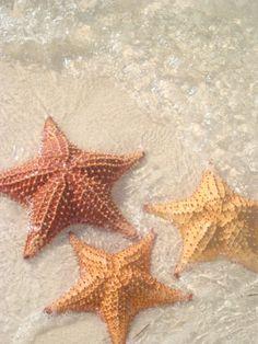 Estrellas de Mar en San Blas, Panamá