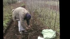 Como injertar arboles frutales por Rosendo 8 abril 2013