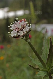 Valeriana sitchensis is a species of valerian known by the common name Sitka valerian. It is native to northwestern North America from Alask. Alpine Flowers, Northern Canada, Northern California, Habitats, Perennials, Wild Flowers, North America, Flora, Montana