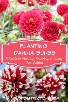 Dahlia Bulbs & Dahlia Care Planting dahlia bulbs is fairly easy, and you'll be amazed at the showstopping blooms you'll see at the end of spring! via dahlia bulbs is fairly easy, and you'll be amazed at the showstopping blooms you' Planting Dahlias, Growing Dahlias, Planting Bulbs, How To Grow Dahlias, Cut Flower Garden, Flower Farm, Dahlia Piercing, Home Design, Gardens