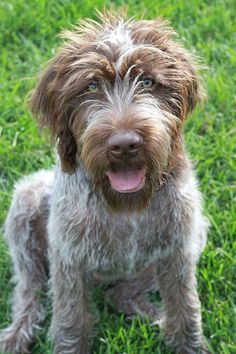 Wirehaired Pointing Griffon ~ Classic Look
