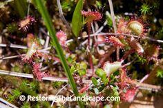 Round Leaved Sundews ~ Drosera rotundifolia
