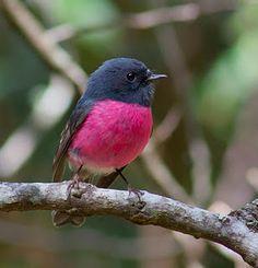 Pink Robin of Tasmania