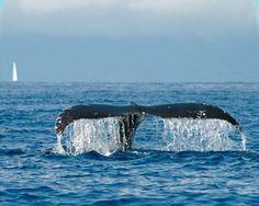 Humpbacks in Maui