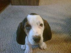My baby bassett hound <3