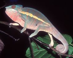 Male pink panther chameleon
