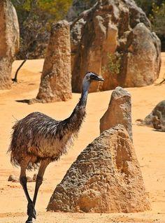 Emu, The Pinnacles, Namburg National Park, Western Australia. Tasmania, Western Australia, Australia Travel, Visit Australia, Queensland Australia, Melbourne Australia, Beautiful Birds, Animals Beautiful, Colorful Birds