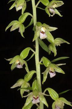 Epipactis nauosaensis
