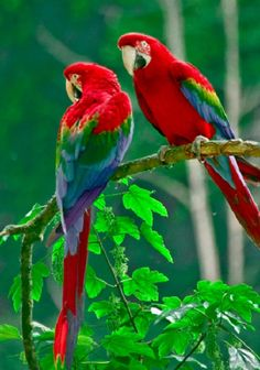Two Green-winged Macaws on Simple Pleasures