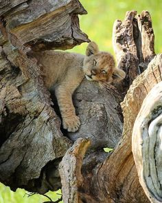 Be Happy For This Moment This Moment Is Your Life Mammals Sleeping Lion