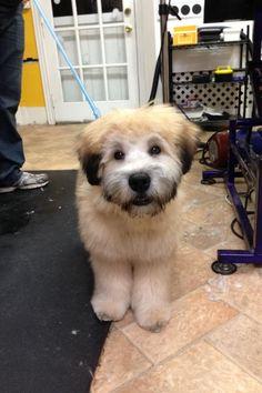 Blake - wheaten terrier (I absolutely neeeeed one!!!! Or ten....!!!!!!!!)