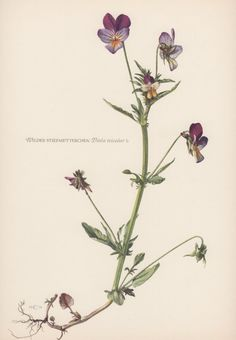 Botanical Print Viola tricolor Heartsease by AntiquePrintGarden