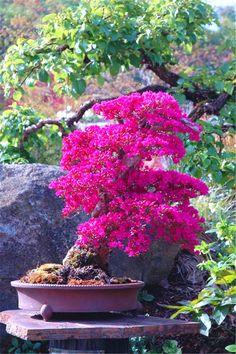 100 Pcs/bag Rare Bonsai Varieties Azalea flores DIY Home & Garden Plants Looks Like Sakura Japanese Cherry Blooms Flower planta - Ikebana, Bonsai Plants, Bonsai Garden, Bonsai Trees, Bonsai Azalea, Cherry Blooms, Plantas Bonsai, Miniature Trees, Home Garden Plants