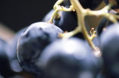Concord grapevines are widely planted and enjoyed for the flavorful fruit they produce in large quantities. Concord and other grape cultivars do not grow true from seed, so vegetative propagation is ...