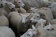 A flock of Lleyn sheep from the Lleyn Peninsula in North West Wales.  They are good mothers, have a high milk yield, and produce beautiful white wool.