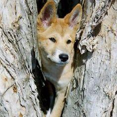 Dingo like penny
