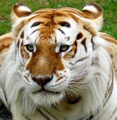 """Tigre Dorado  Los tigres dorados poseen un pelaje inusual causado por un gen recesivo  que sólo parece afectar a los tigres en cautividad. El color de su pelo es amarillento, con las patas blancas y unas bandas anaranjadas algo tenues. Su pelaje tiende a ser más espeso que el de un tigre normal y, debido a su color ligeramente rojizo, también se les denomina """"Tigres de fresa""""."""
