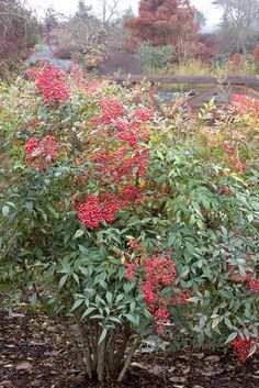 Many colorful shrubs and trees produce berries in the fall, some even into the winter.