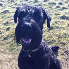 This is my 3 year old baby Giant Schnauzer, Dexter.