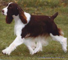 English Springer Spaniel Pup ~ Classic Look & Trim Springer Spaniel Puppies, English Springer Spaniel, Cocker Spaniel, Spaniel Breeds, Dog Breeds, Pet Dogs, Dog Cat, Doggies, Cute Puppies